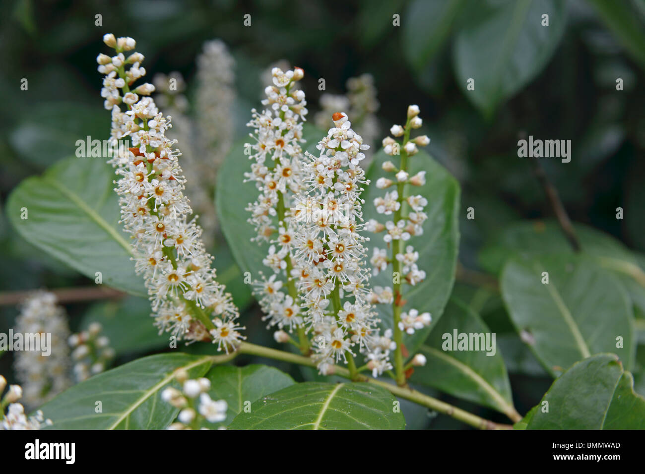 laurel (Prunus laurocerasus) close up of flower spikes - Stock Image