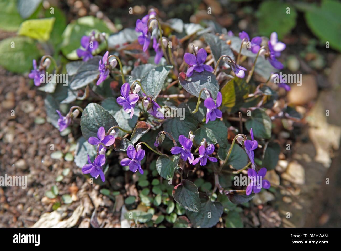 Dog violet (Viola riviniana) plants in flower - Stock Image