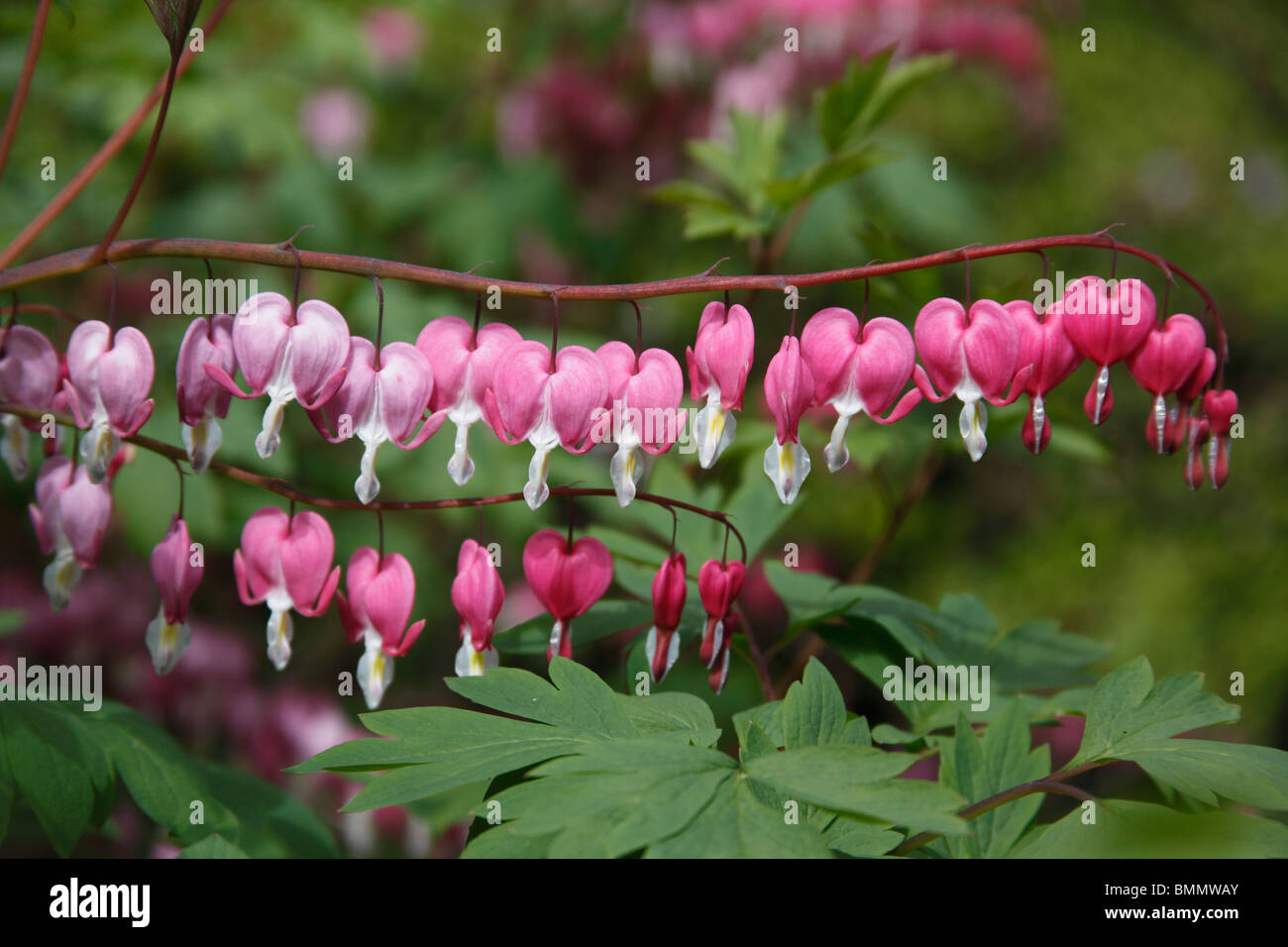 Bleeding heart (Dicentra spectabilis) close up of flowers - Stock Image