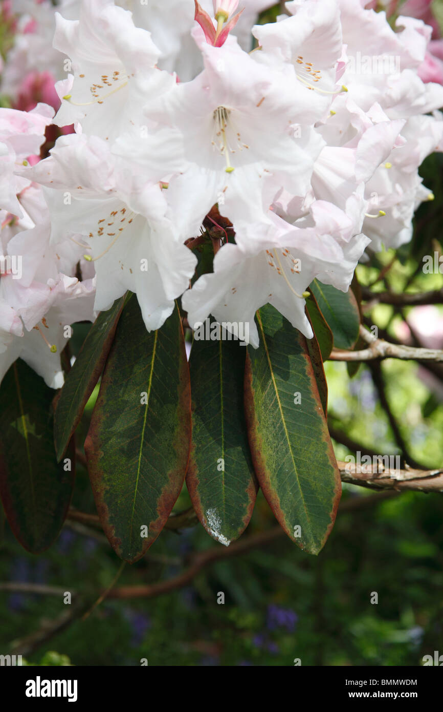 Sudden oak death (Phytophthora ramorum) on Rhododendron - Stock Image