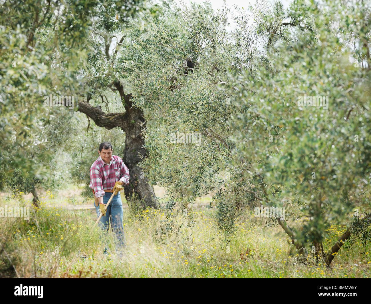 Man raking in olive grove - Stock Image