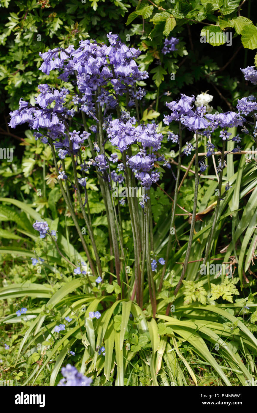 Spanish bluebell (Hyacinthoides hispanica) plant in flower - Stock Image