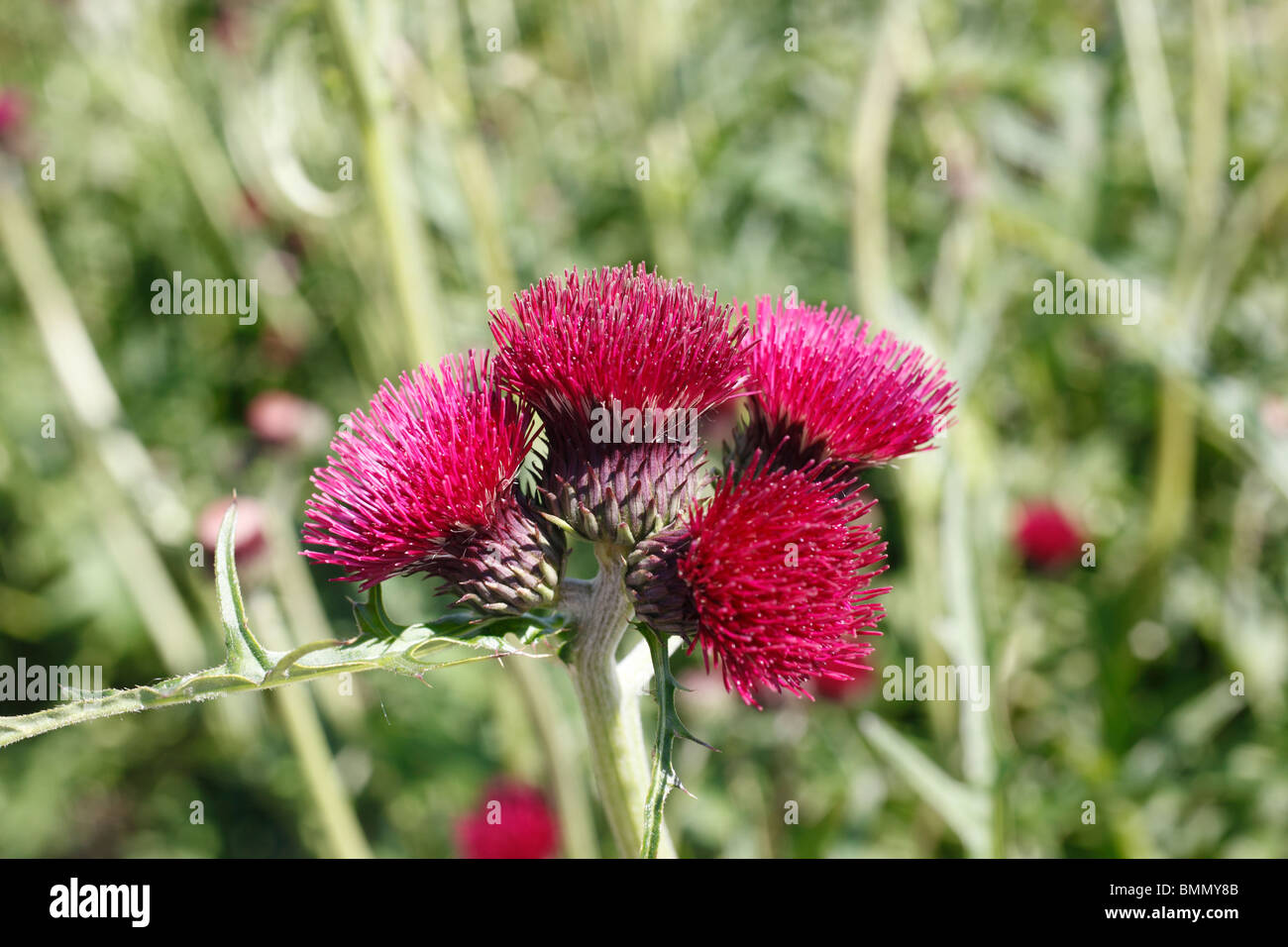 Thistle (Cirsium rivulum atropurpureum) close up of flowers - Stock Image