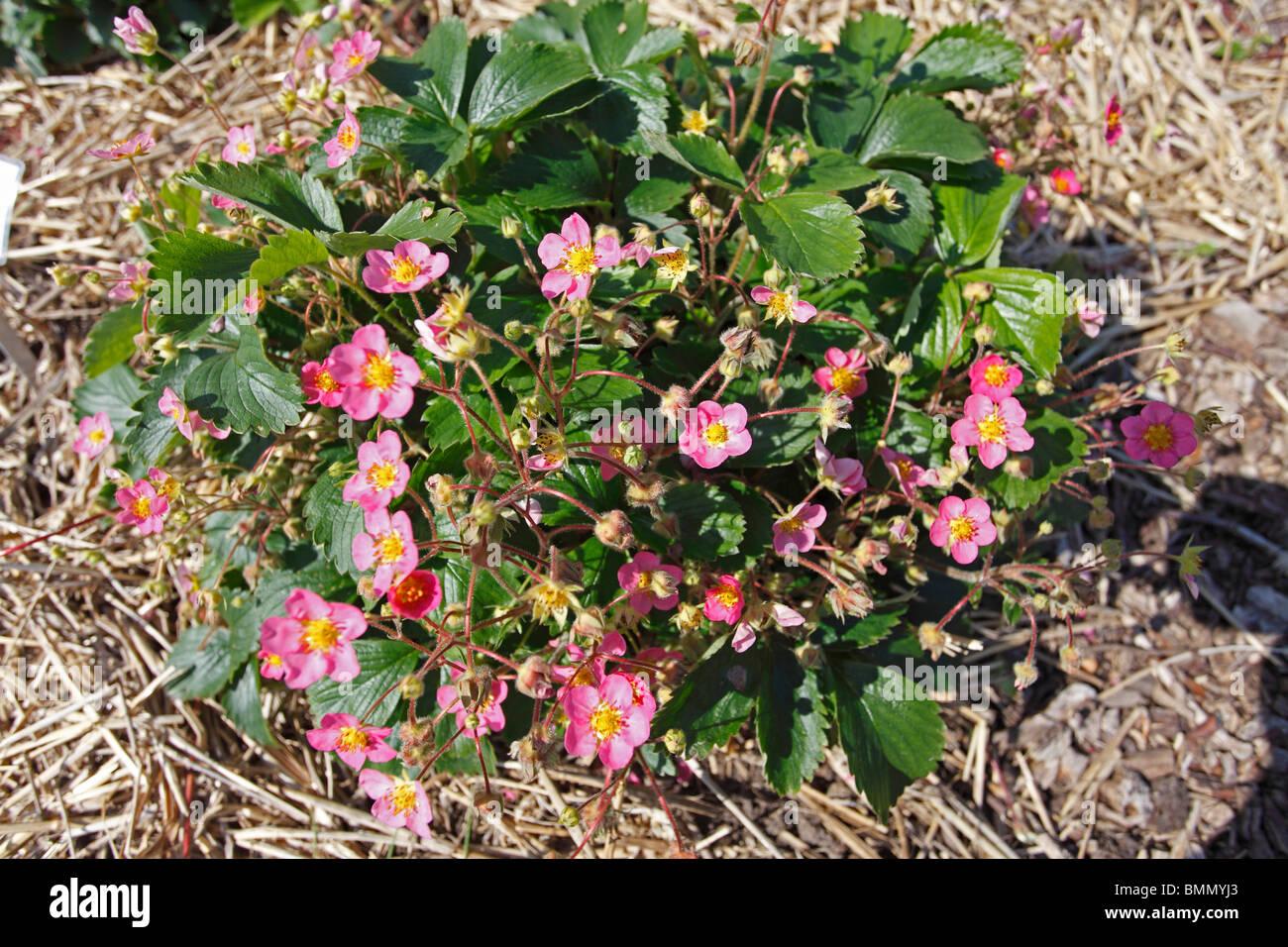 Strawberry fragaria pink panda plant in flower stock photo strawberry fragaria pink panda plant in flower mightylinksfo Gallery