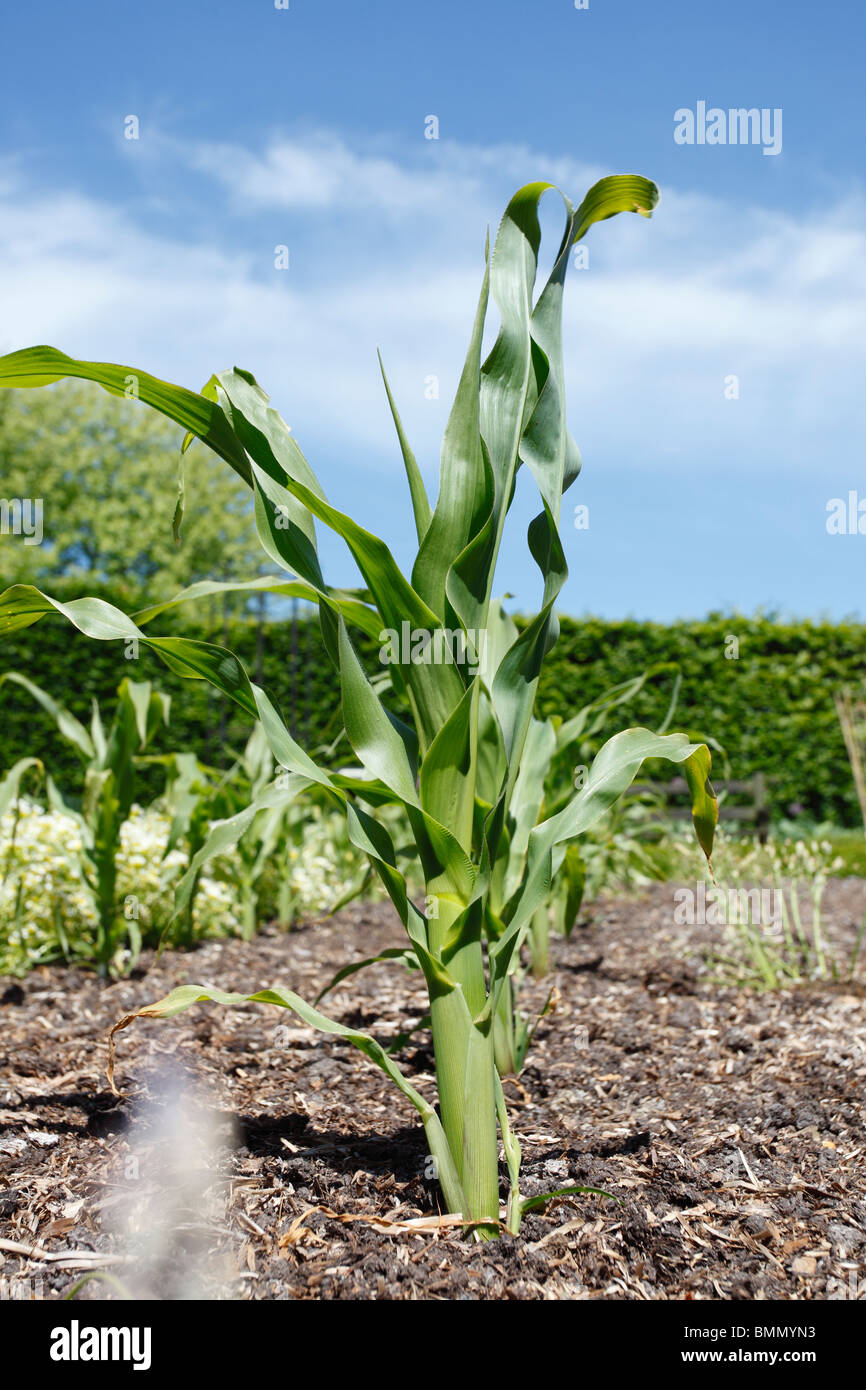 sweetcorn (Zea mays) close up of growing plant - Stock Image