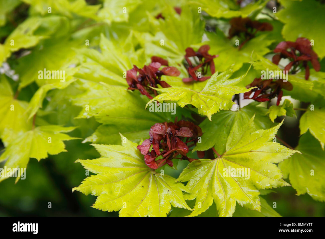acer shirasawanum aureum close up of seeds and leaves stock photo 29964392 alamy. Black Bedroom Furniture Sets. Home Design Ideas