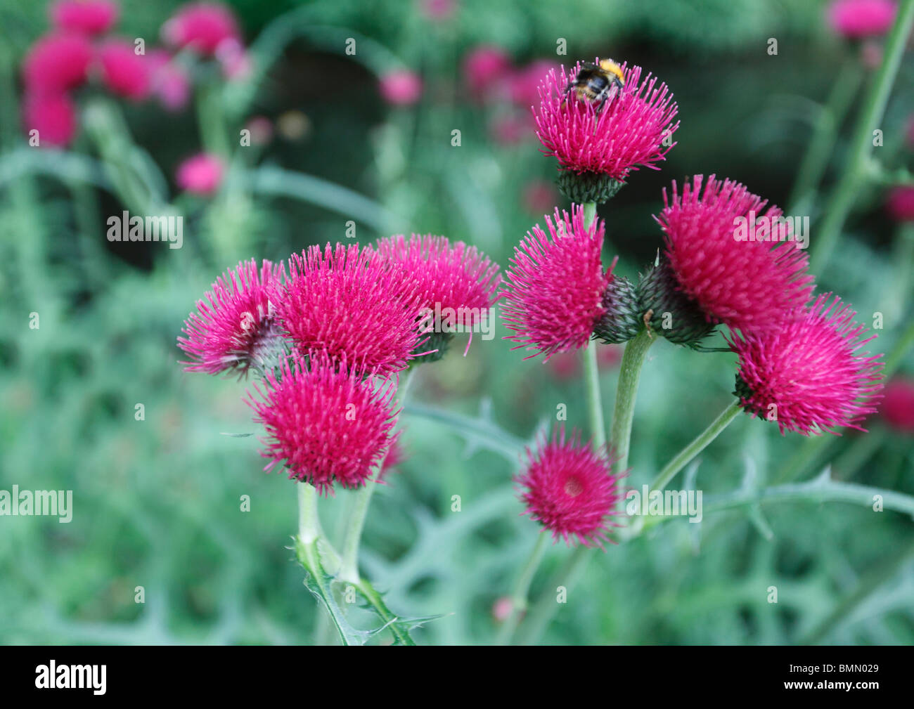 Cirsium rivulare close up of flowers - Stock Image