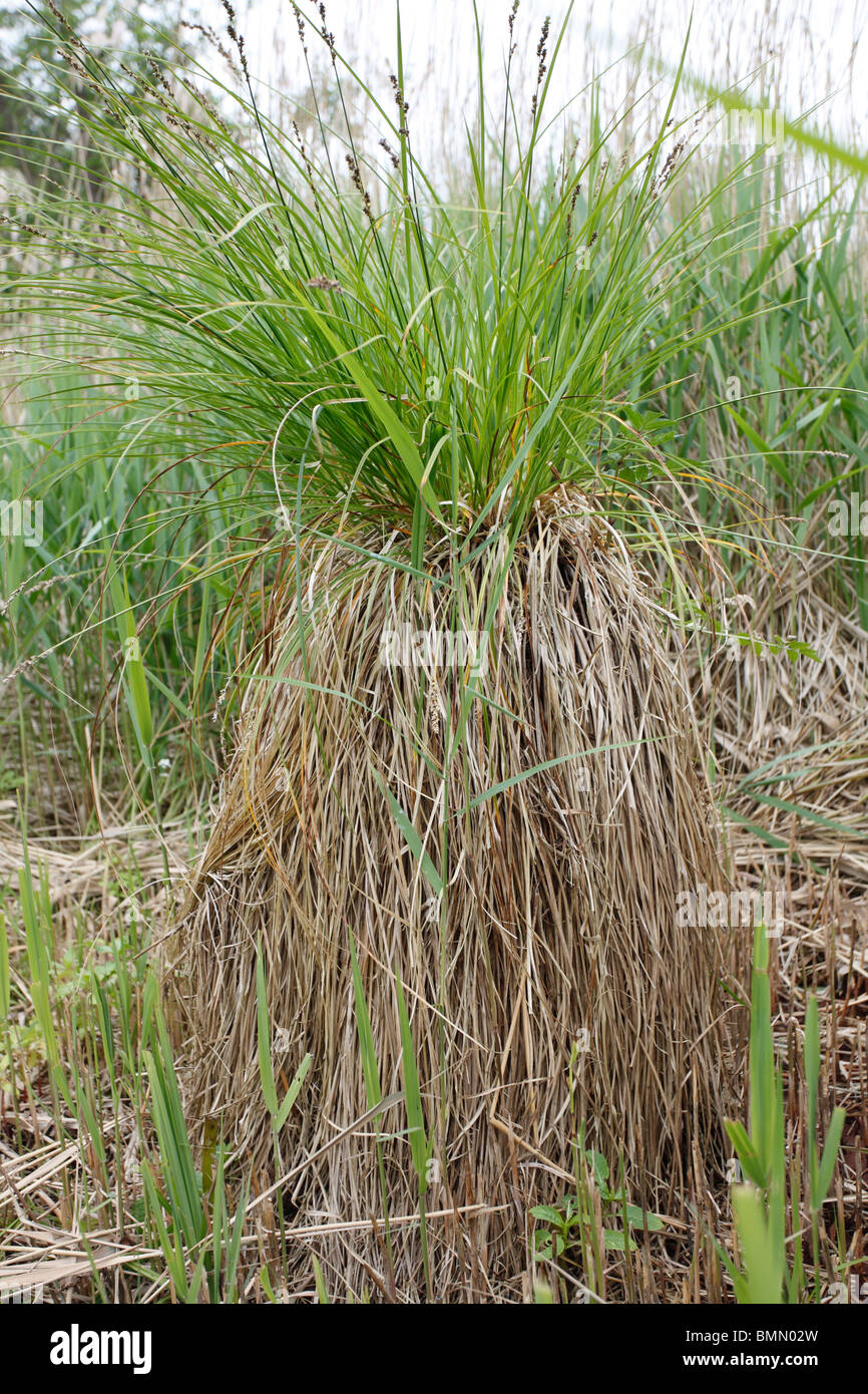 Greater tussock sedge (Carex paniculata) close up of plant - Stock Image