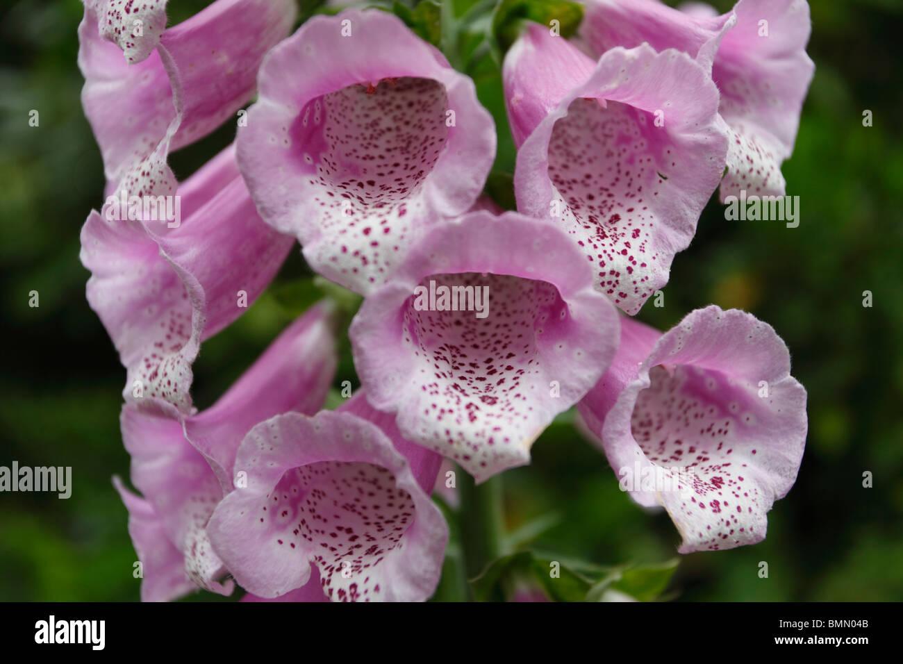 Foxglove (Digitalis purpureum) close up of flower - Stock Image