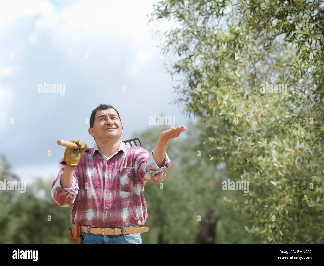 Man in olive grove checking for rain - Stock Image