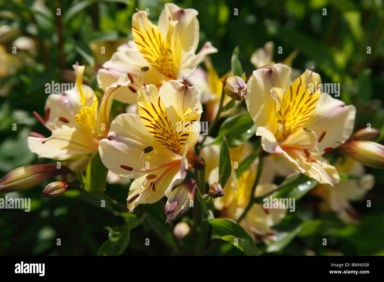 Alstroemeria Friendship close up of flower - Stock Image