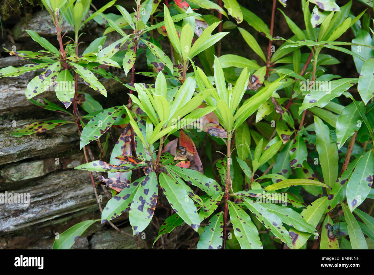 Rhododendron leaf spot (Septoria azaleae) plant with infected leaves - Stock Image