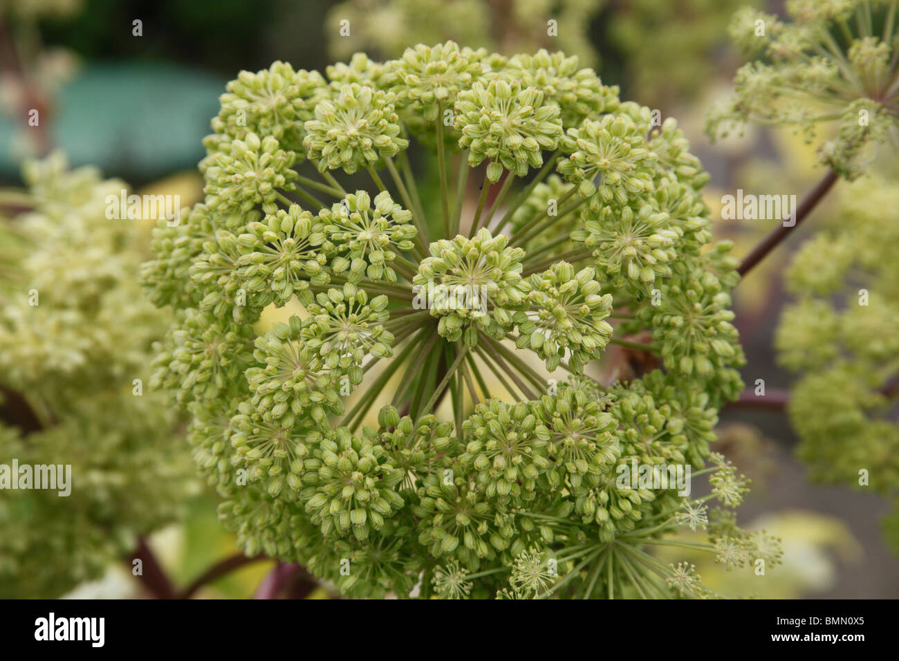 Angelica (Angelica archangelica) close up of seedhead - Stock Image