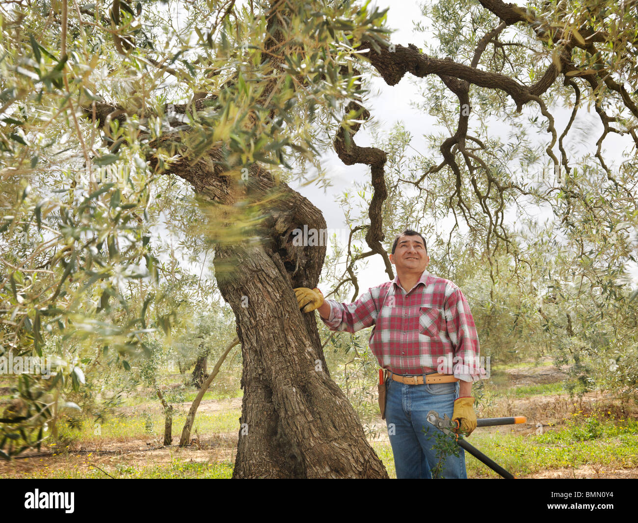 Man pausing while pruning olive branches - Stock Image