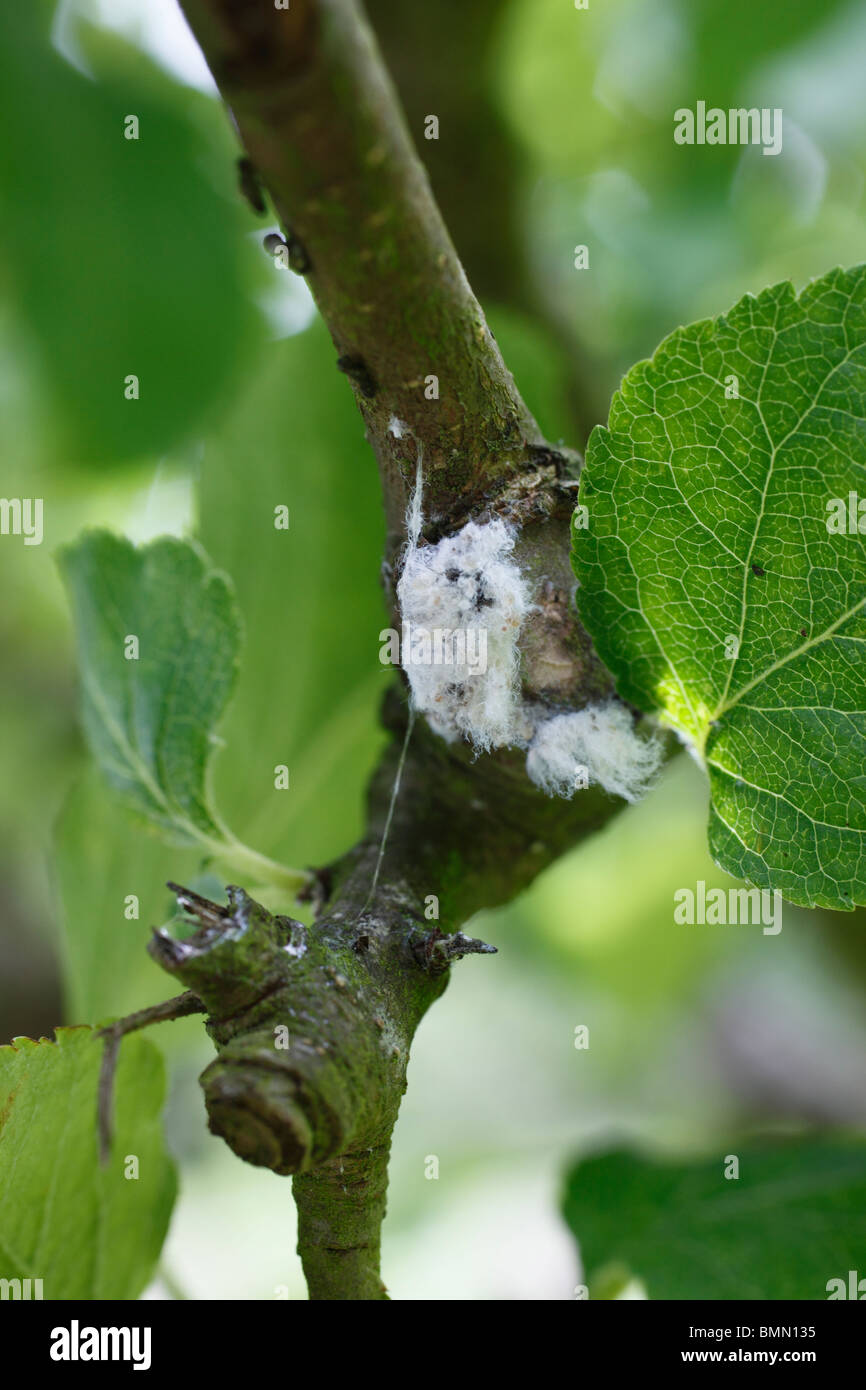 Woolly aphid (Eriosoma langerum) colony on apple branch - Stock Image