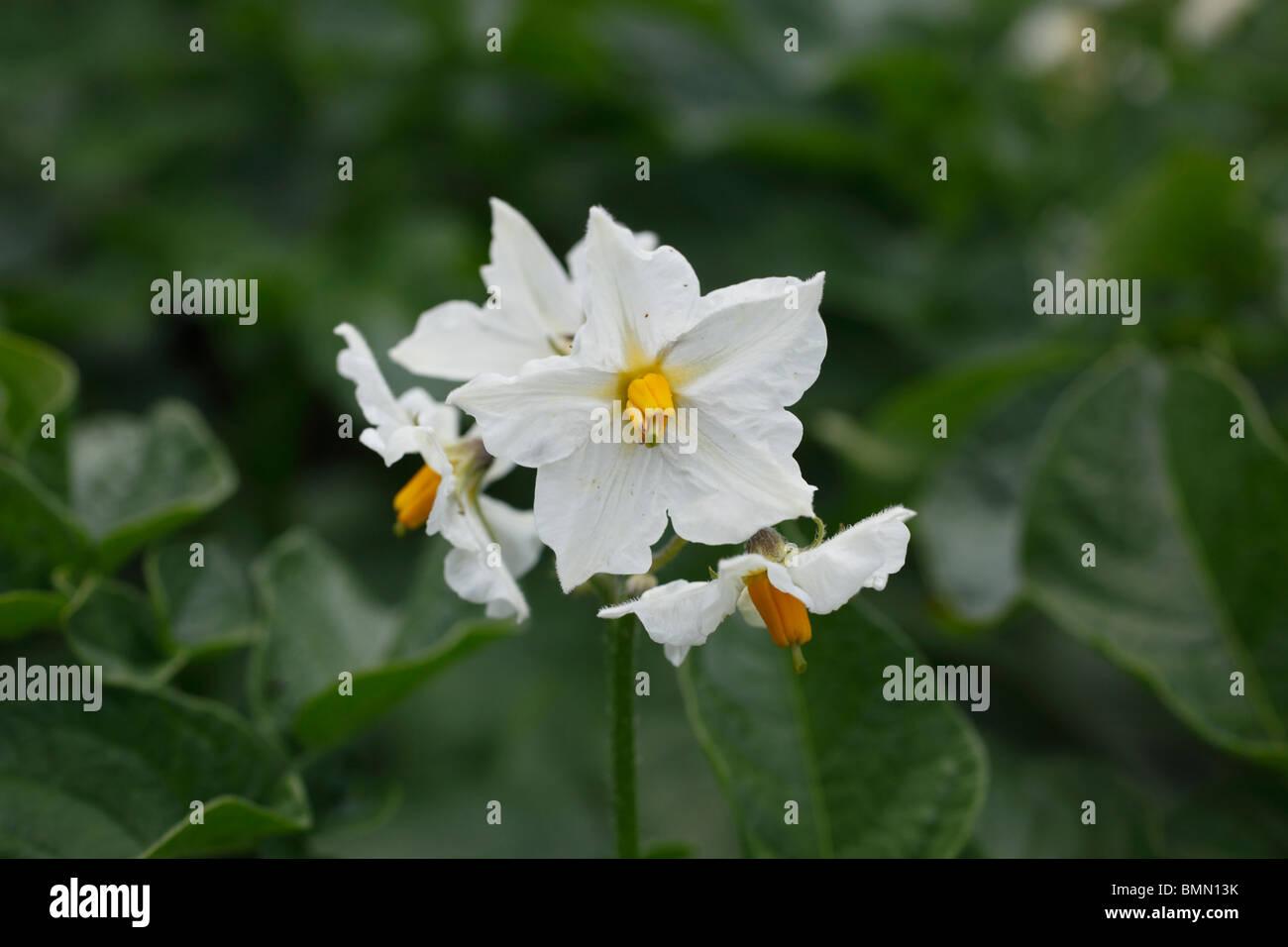 Potato Maris bard close up of flower - Stock Image