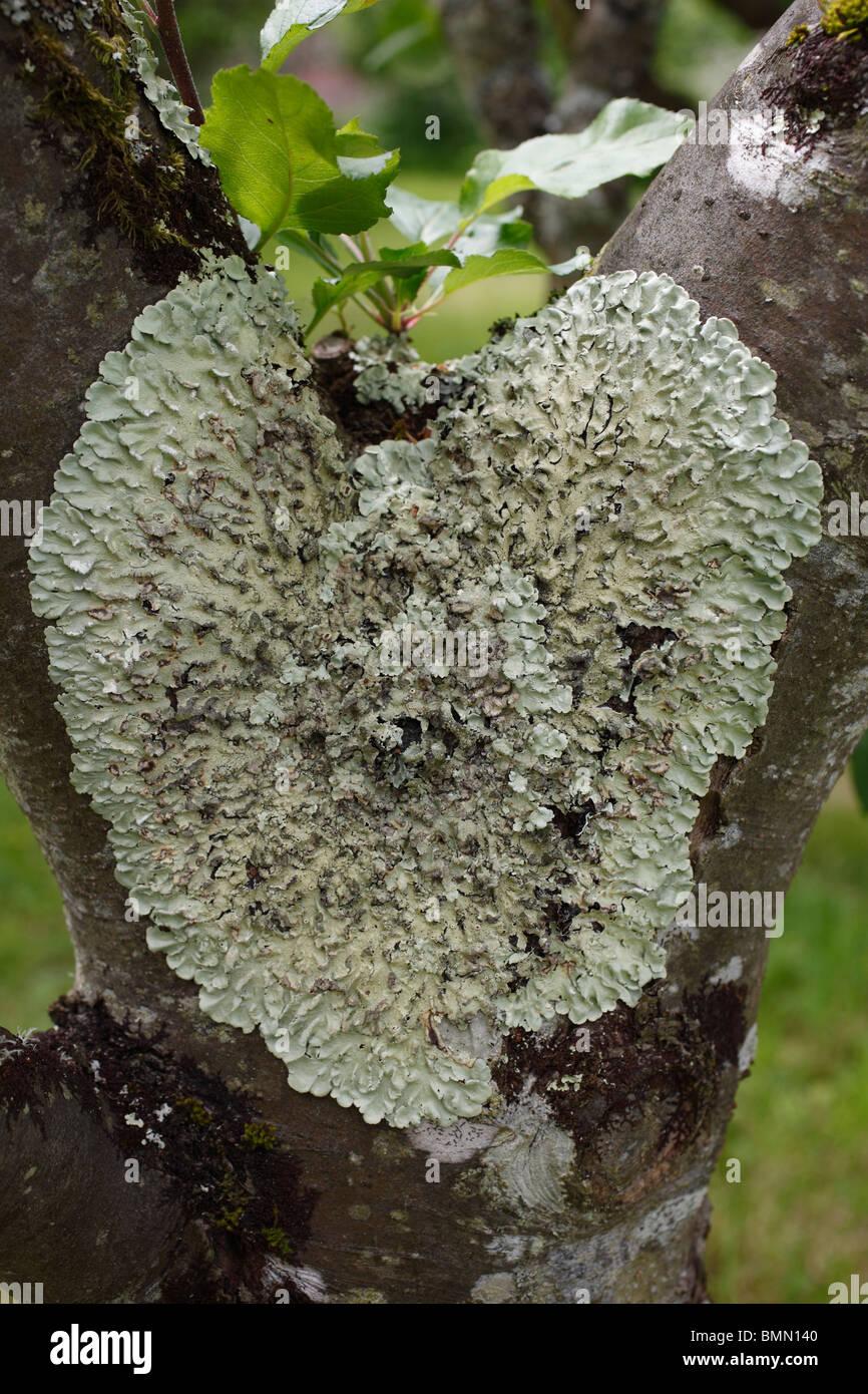 lichen growing on apple tree - Stock Image