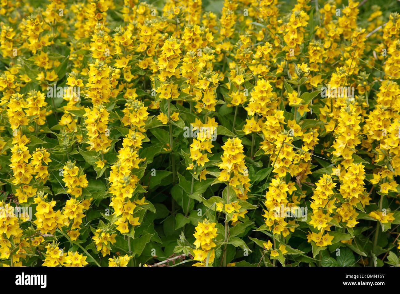 Yellow loosestrife stock photos yellow loosestrife stock images yellow loosestrife lysimachia punctata plants in flower stock image mightylinksfo
