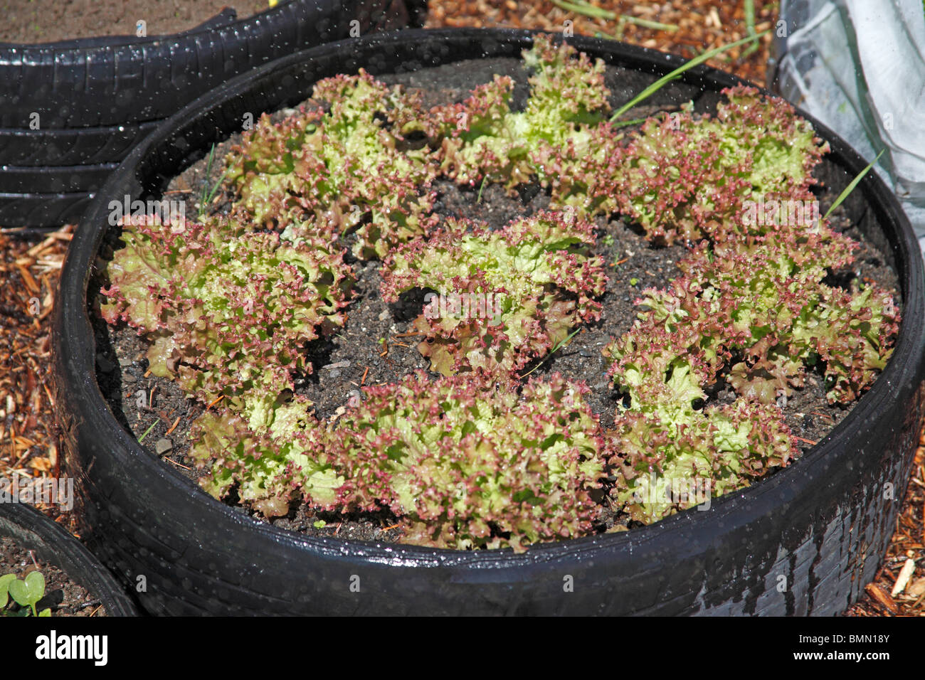 Lettuce (Lactuca sativa) growing in tyre - Stock Image