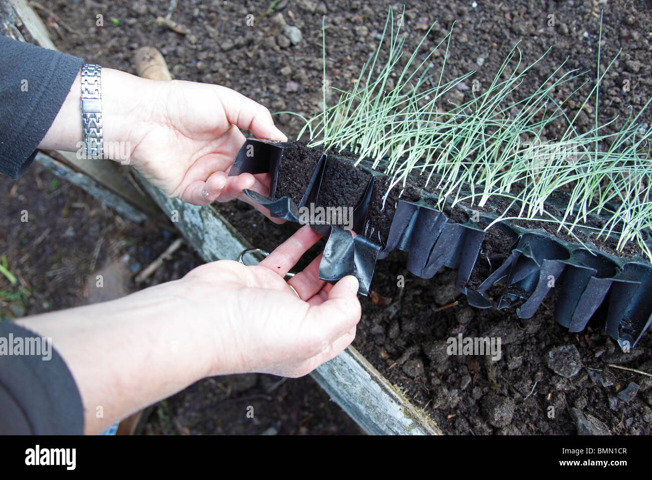 transplanting leeks- tear the sides of the plastic module to remove the plug complete - Stock Image