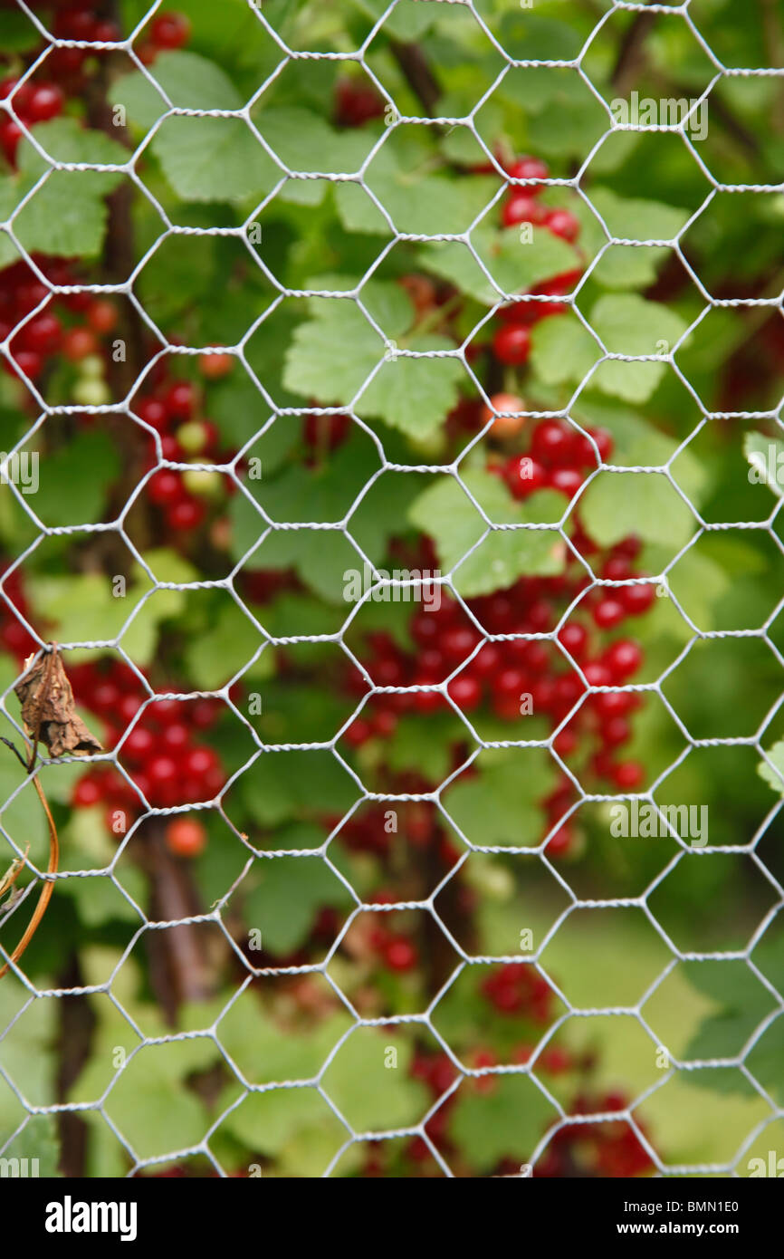 protect soft fruit from birds with wire netting cage - Stock Image