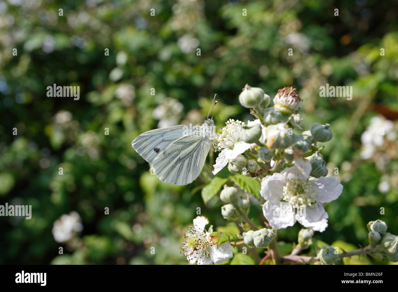 Green viened white (Pieris napi) taking nectar from bramble - Stock Image