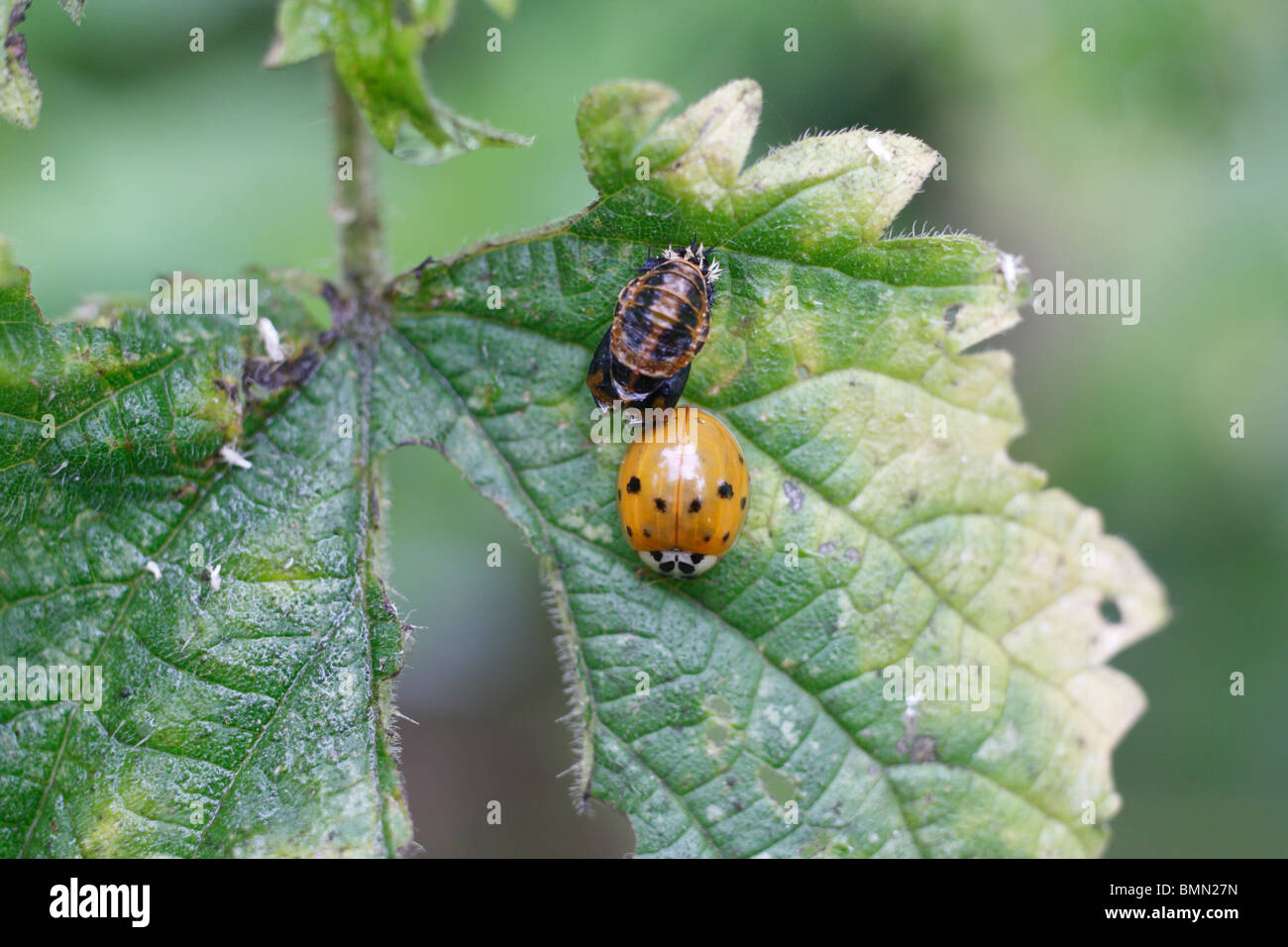 Harlequin ladybird (Harmonia axyridis) recently hatched with empty pupal case - Stock Image