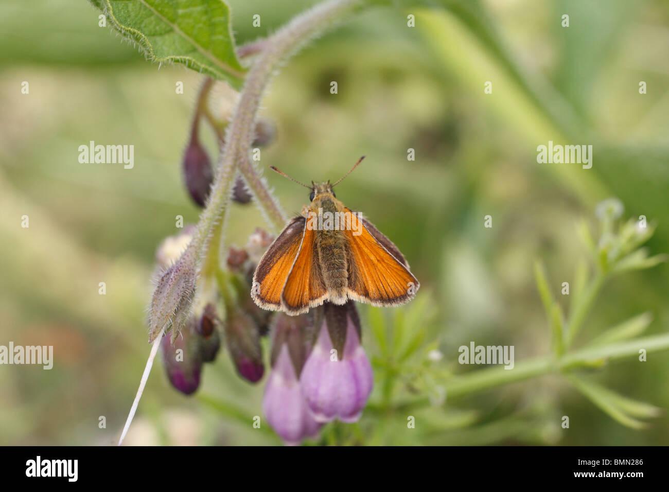 Large skipper (Ochlodes venatus) female at rest on comfrey flower Stock Photo