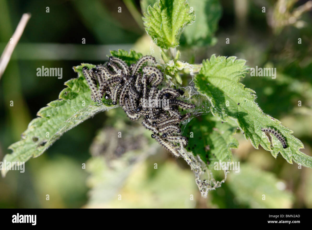Small tortoiseshell (Aglais urticae) caterpillars istarting to move - Stock Image