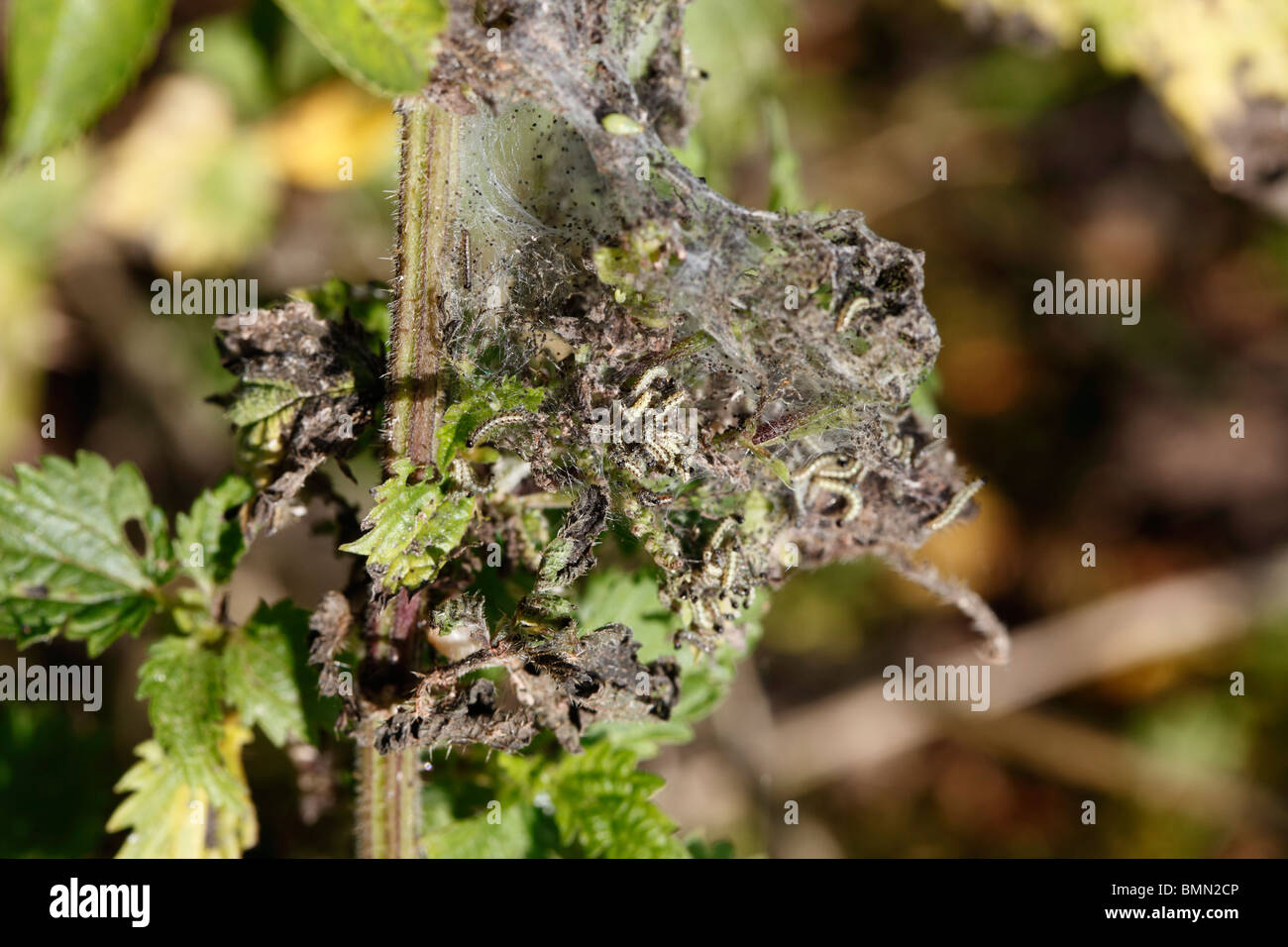 Small tortoiseshell (Aglais urticae) caterpillars Ccoming out of web - Stock Image