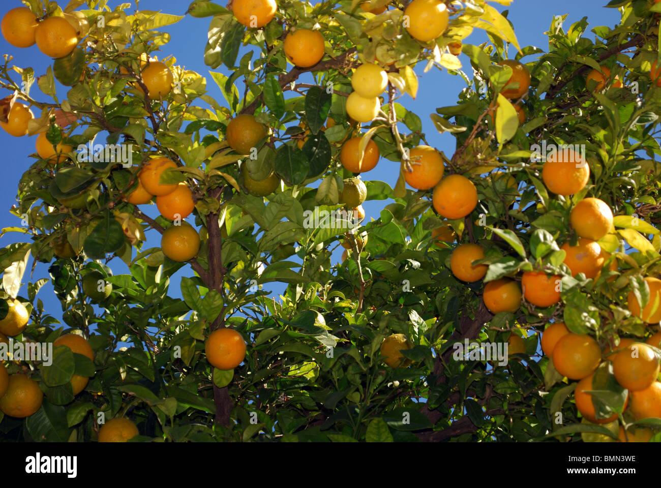 Oranges tree in the Plaza de la Victoria, Plaza de la Victoria, Estepa, Seville Province, Andalucia, Spain, Western - Stock Image