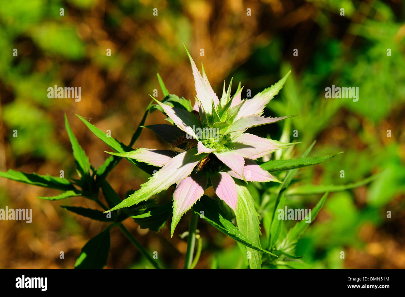 Spotted Bee balm - Stock Image