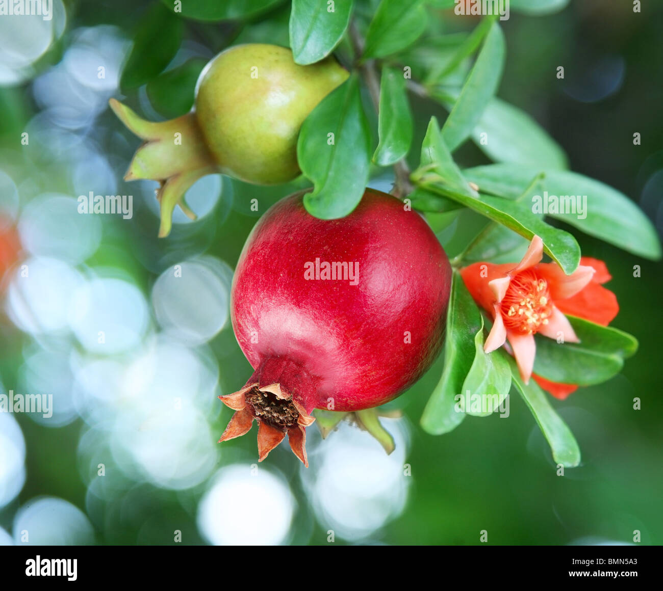 Branch with ripe pomegranate and pomegranate blossoms - Stock Image