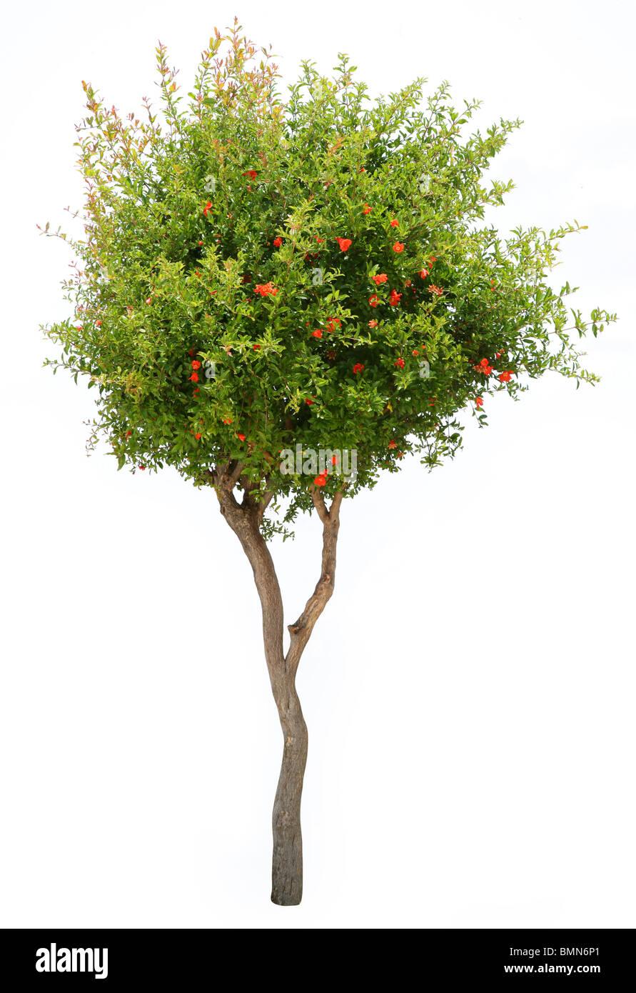 Pomegranate tree isolated on white background - Stock Image
