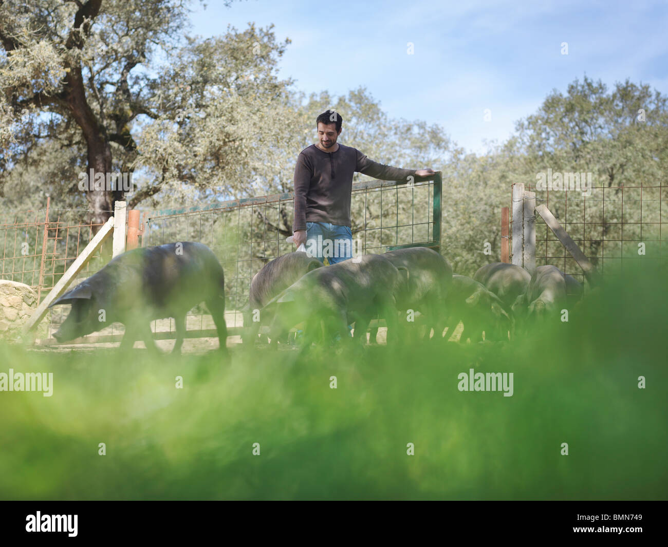 Man on farm opening gate for pigs - Stock Image