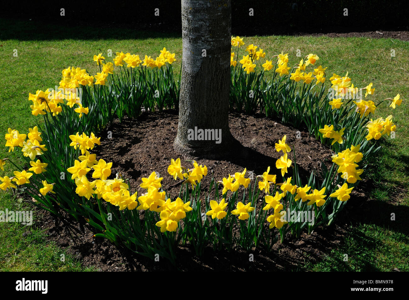 full circle ring of daffodils surround surrounding encircled encircle at the base of a tree trunk spring bloom blossom - Stock Image