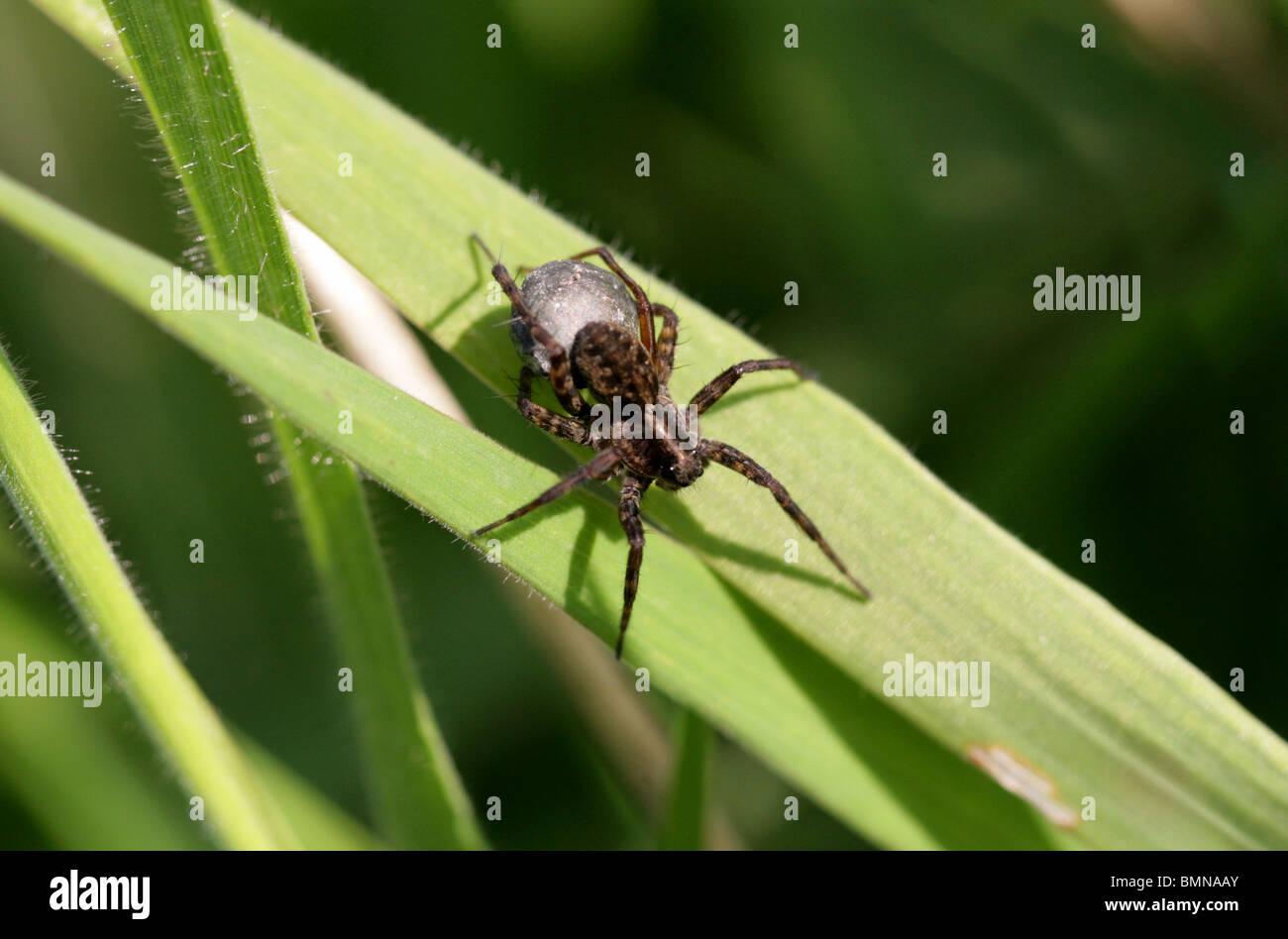 Female Wolf Spider with Egg Sack, Pardosa lugubris, Lycosidae (wolf spiders), Araneae (spiders), Arachnida - Stock Image