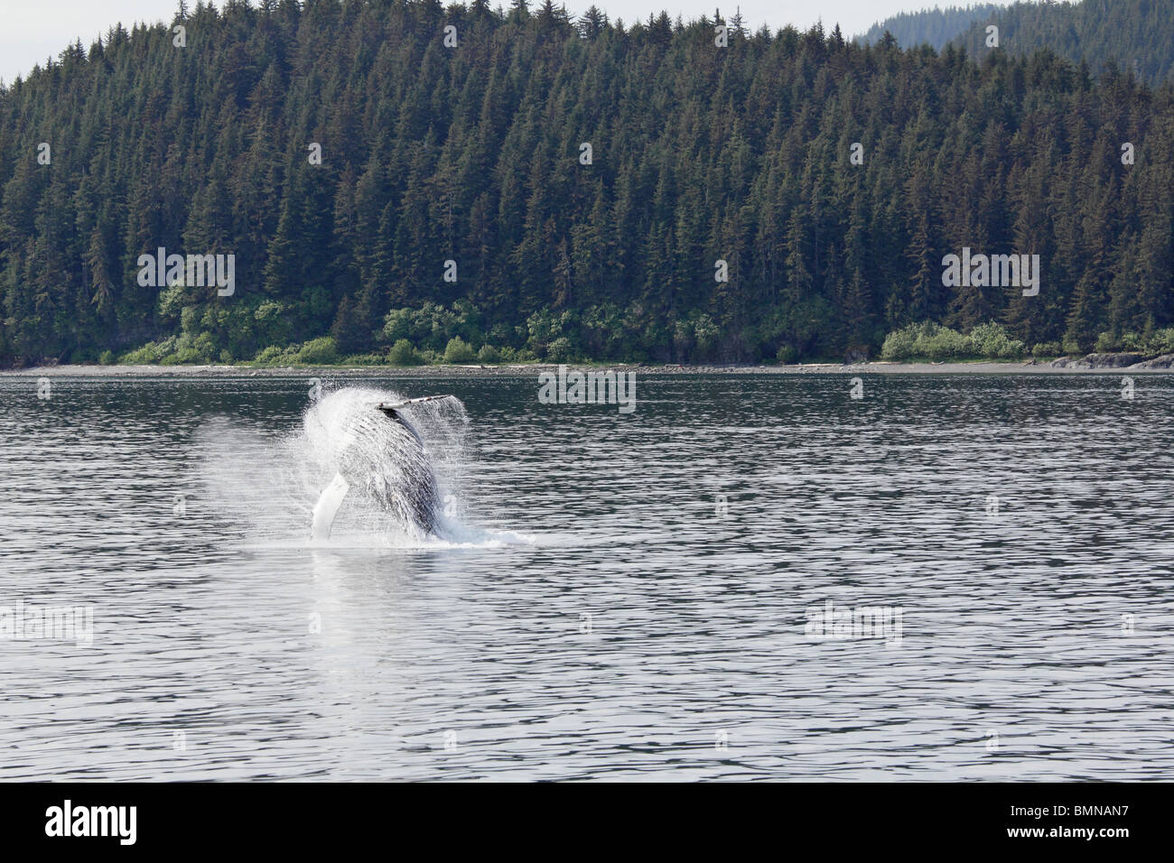 Humpback whale breaching off Icy Straits Point Alaska 8 - Stock Image