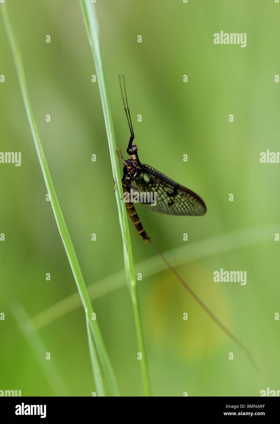 Mayfly, Ephemera vulgata, Ephemeridae, Ephemeroptera. - Stock Image