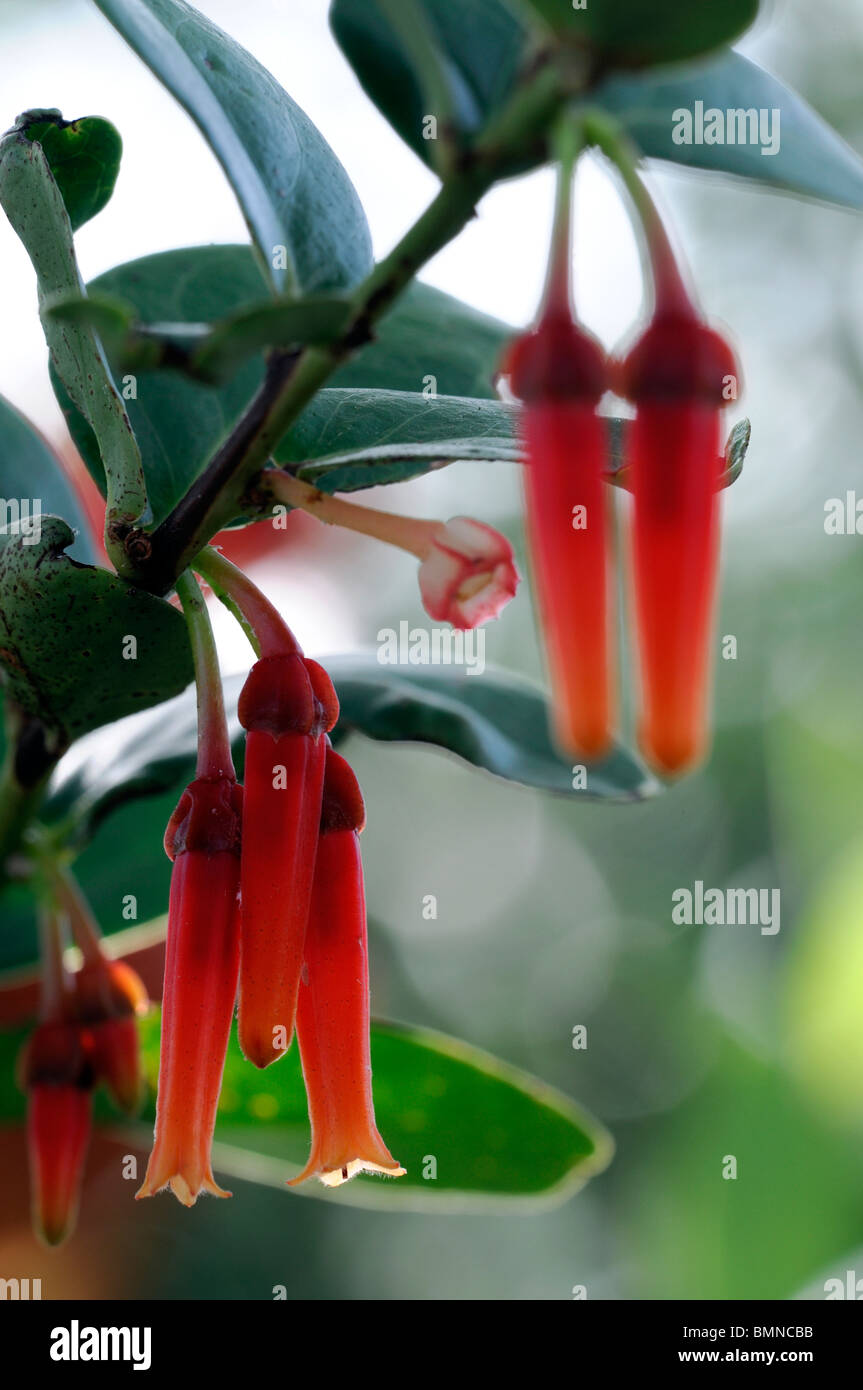 Macleania insignis unusual red orange flower plant bloom blossom Ericaceae Stock Photo