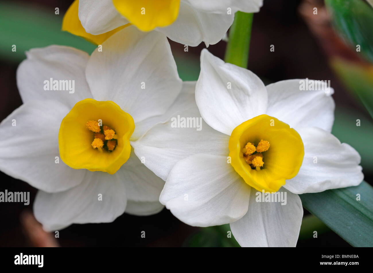 Narcissus minnow daffodil division 8 white pale yellow petals yellow narcissus minnow daffodil division 8 white pale yellow petals yellow cup macro photo close up flower bloom blossom mightylinksfo