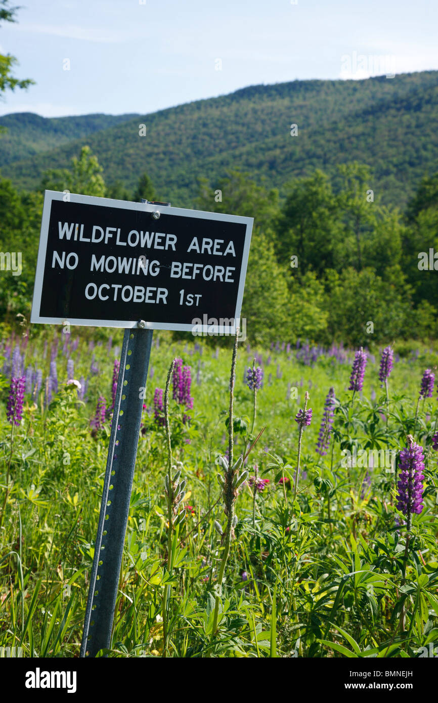Lupine in Crawford Notch State Park during the spring months in the White Mountains, New Hampshire USA Stock Photo