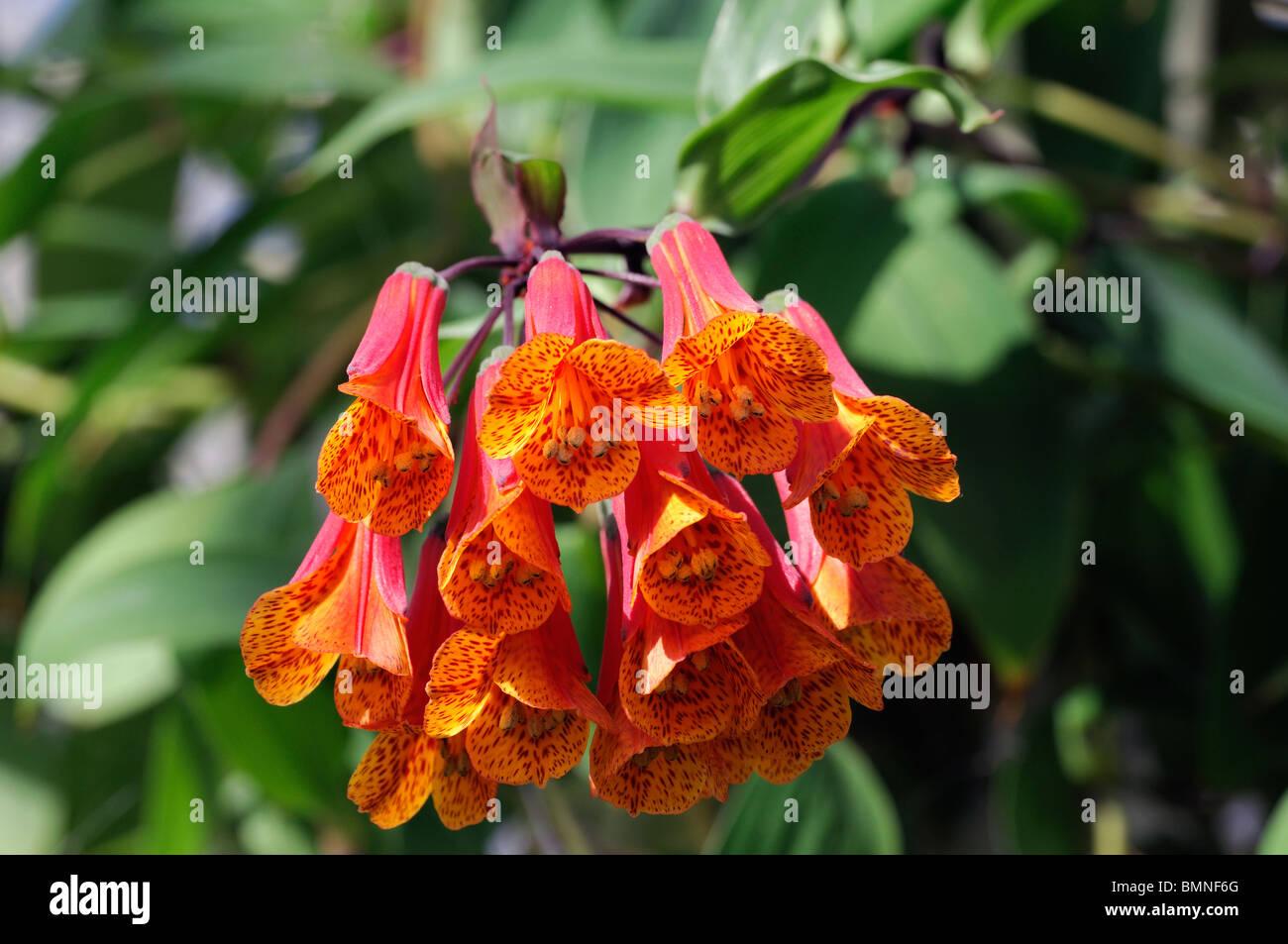 Macleania insignis unusual red orange flower plant bloom blossom Ericaceae - Stock Image