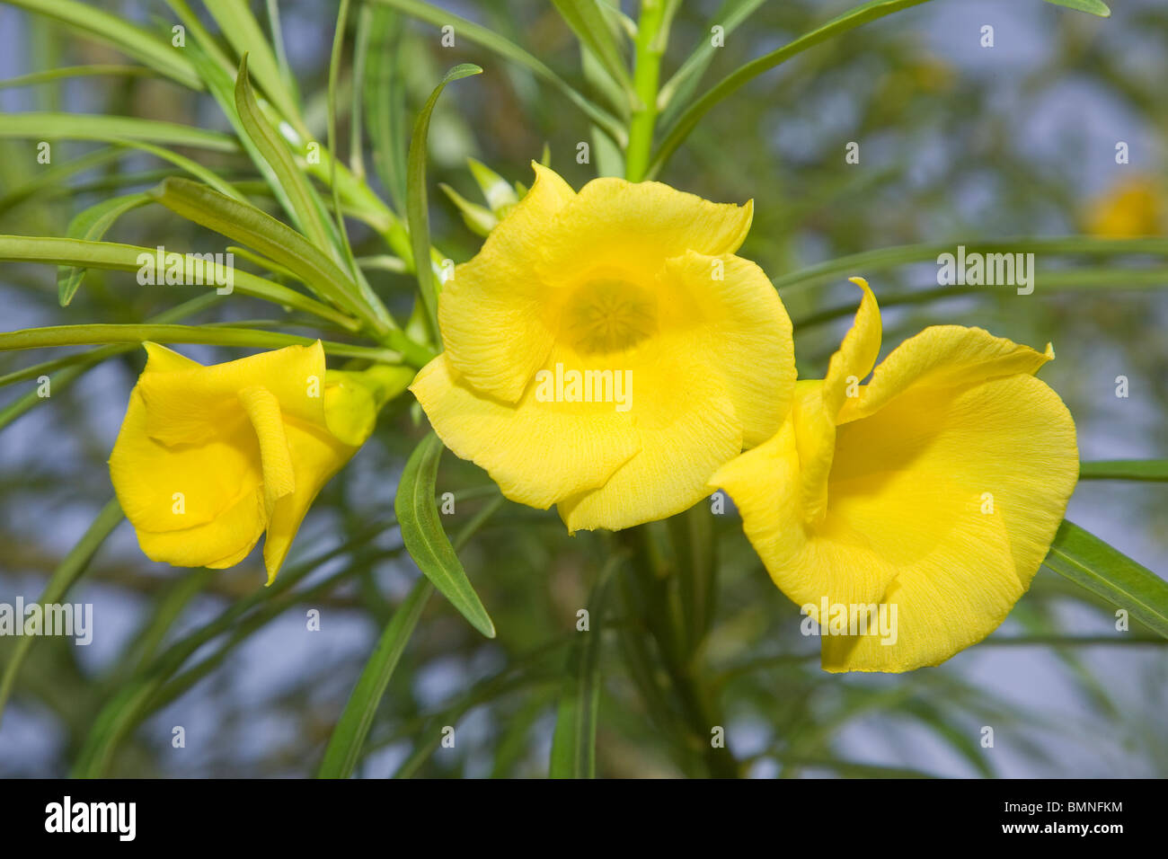 Yellow Oleander Flower Stock Photos Yellow Oleander Flower Stock