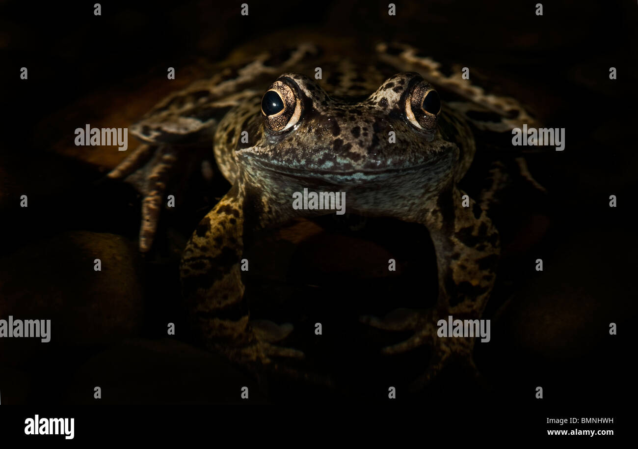 Common Frog rana temporaria in a dark secluded spot. - Stock Image