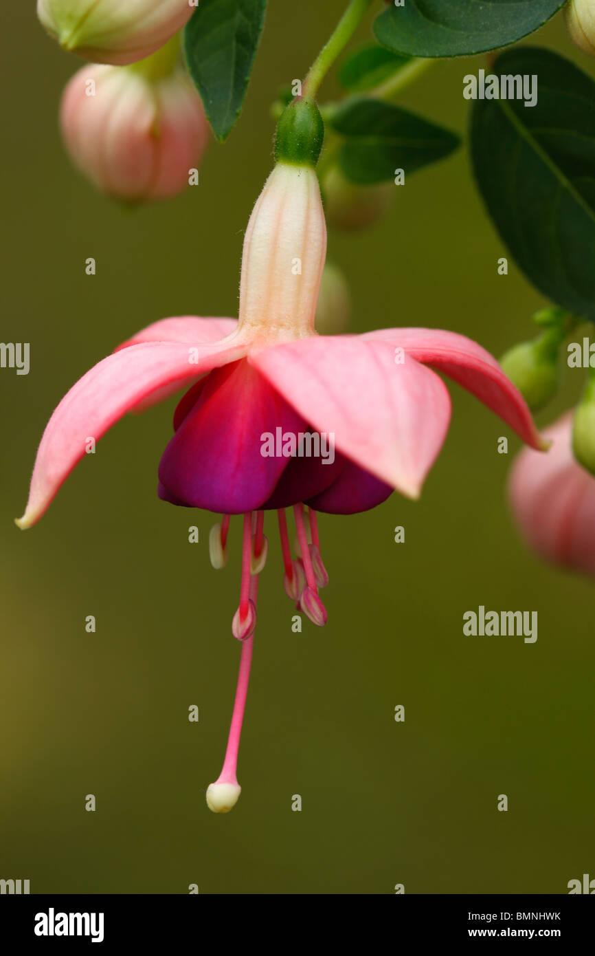 Flower of Fuchsia magellanica - Stock Image