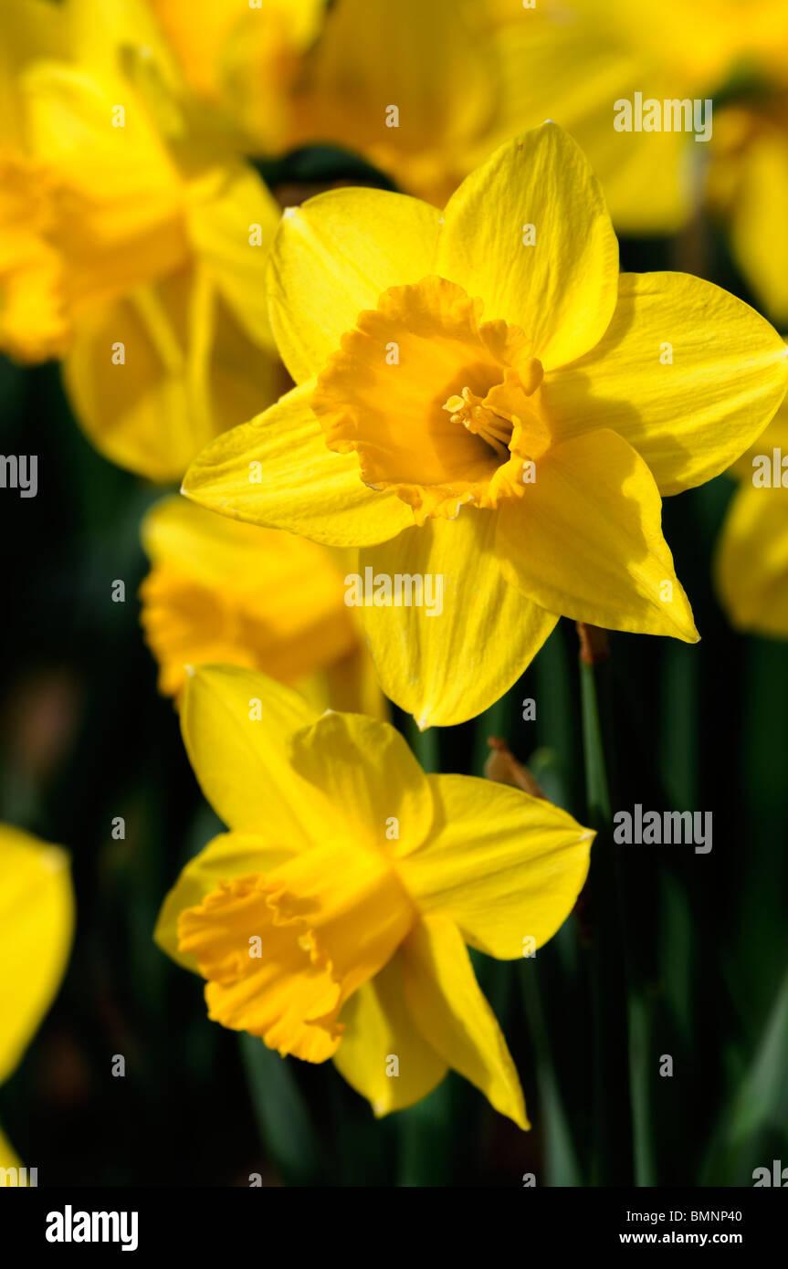 Narcissus Carlton Daffodil Division 2 Early Blooming Macro Photo
