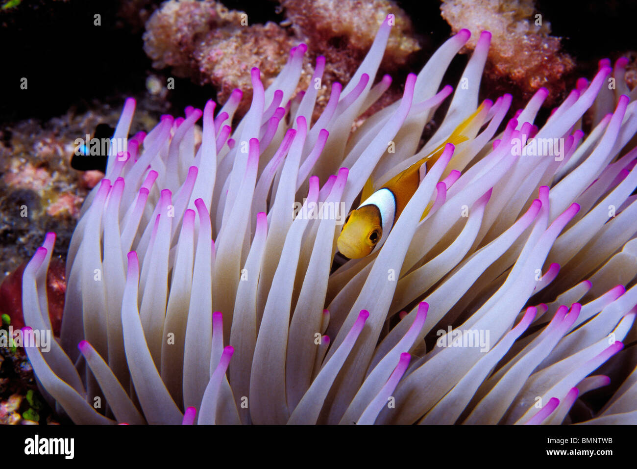 Clown anemonefish, Amphiprion percula, Tuamotus, French Polynesia, Pacific Ocean Stock Photo