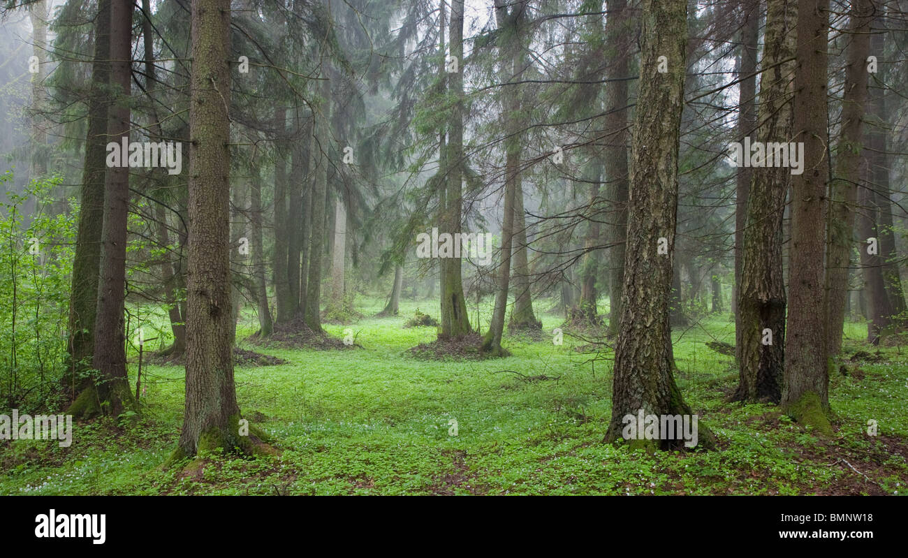 Misty springtime morning in riparian forest with spruces and birches in foreground - Stock Image