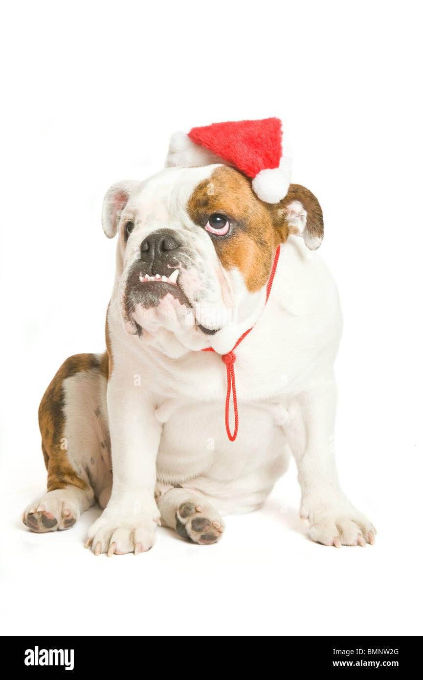 A British Bulldog with a Santa hat on against a pure white (255rgb) background. - Stock Image